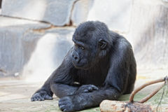 Young male of a gorilla Royalty Free Stock Photo