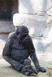 Young male of a gorilla Stock Photography