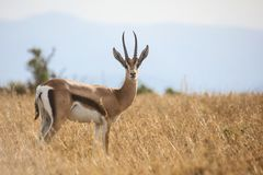 Young male Grant`s gazelle. Portrait of a young male Grant`s gazelle Gazella granti in tall dry grass. Ol Pejeta Conservancy, Kenya Royalty Free Stock Image