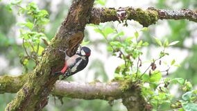 Young male great spotted woodpecker Dendrocopos major picking on trunk of apple tree in garden.mp4
