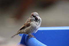 Young male house sparrow. Perching on blue highchair in picnic area Stock Photo