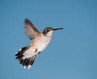 Young male Hummingbird in flight Stock Photos