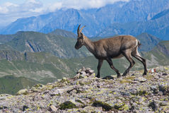 Young male ibex Royalty Free Stock Photo