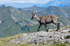 Young male ibex Stock Images
