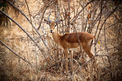 Young male impala Royalty Free Stock Photography