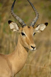 Young male Impala Stock Photos