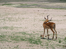 Young male Impala cleaning itself in natural habitat. Young male Impala stand cleaning itself  in natural habitat on sunny day Stock Photo