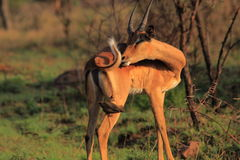 Young male impala Royalty Free Stock Image