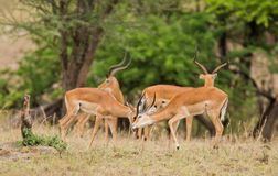 Young Male Impala sparring Royalty Free Stock Photo