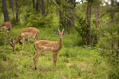 Young male impalas Royalty Free Stock Photos