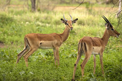 Young male impalas Royalty Free Stock Images