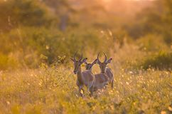 3 young male Impalas aepyceros melampus walking through the bush in the Kruger national park. South. 3 young male Impalas aepyceros melampus walking through the royalty free stock photography