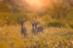 3 young male Impalas aepyceros melampus at sunset, in the Kruger national park, backlit at golden hour. 3 young male Impalas aepyceros melampus walking through stock image
