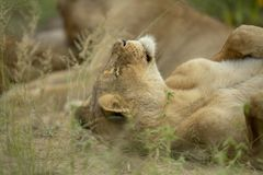 The young male just awaking. A young male lions portrait in the late afternoon sunlight. waking up from his resting spot for the day royalty free stock photo