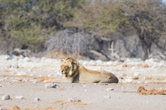 Young male lazy Lion lying down on the ground and looking at camera. Zebra defocused walking undisturbed in the background. Wild Royalty Free Stock Photo