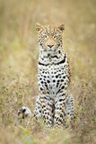 Young male Leopard, Botswana Stock Images