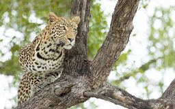 Young male Leopard, Botswana Stock Photo