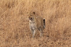 Young male leopard hunting. Young male leopard walking and hunting in the savannah Royalty Free Stock Images