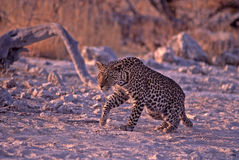 Young male leopard in Namibia, Africa. Young male leopard in Etosha National Park Royalty Free Stock Images