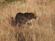 Young male leopard Royalty Free Stock Image