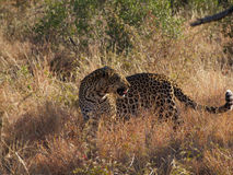 Young male leopard Stock Images