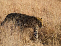 Young male leopard Royalty Free Stock Images