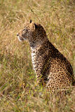 Young male leopard Stock Photography