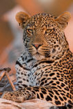 Young male leopard at sunset on a branch Stock Photo