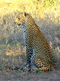 Southern african animals. Young male leopard at Timbavati Royalty Free Stock Image