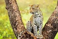 Young male leopard in tree. Close up of young male leopard sitting in tree royalty free stock image