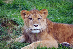 Young male lion. Closeup picture of a young male lion resting in the grass Stock Photography