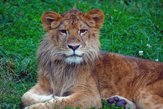 Young male lion. Closeup picture of a young male lion resting in the grass Stock Images