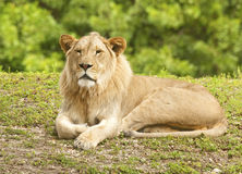 Young Male Lion. Young Lion on grass - full body royalty free stock photos