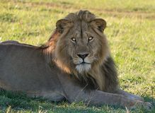 Young Male Lion Stock Images