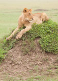 Young Male Lion. Juvenile male lion resting on top of a termite mound in Kenya's Masai Mara national park Royalty Free Stock Photo