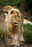 Young Male Lion Royalty Free Stock Photos