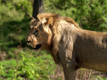 Young male lion Royalty Free Stock Images