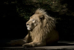 Young Male Lion. Basking in morning sun attentive to sounds and movements around him Stock Photos