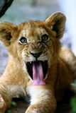 Young male lion. (Panthera leo Royalty Free Stock Images