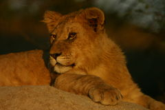 Young male lion. (Panthera leo Stock Images