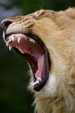 Young male lion. (Panthera leo Stock Image