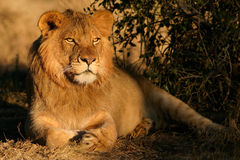 Free Young Male Lion Stock Images - 596034