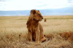 A Young Male Lion stock images