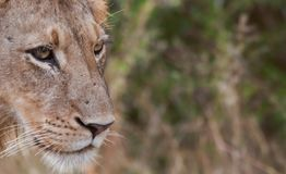 Young male lion in the African wilderness Stock Photo