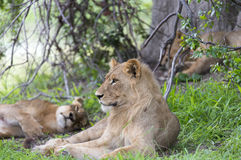 A young male lion in the afternoon. The group was resting and annoyed by all the flies Royalty Free Stock Image