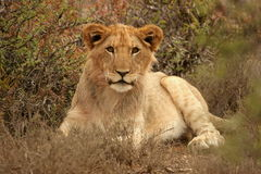 Young male lion. The beautiful young male lion was in the reserve near Addo Elephant Nat Park Stock Photo