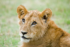 Young male lion cub Stock Image