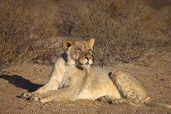 Young male Lion in the desert Stock Photos