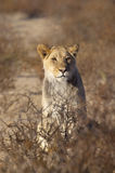 Young male Lion in desert Royalty Free Stock Photo
