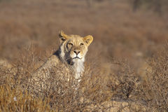Young male Lion in the desert. A young male Lion (Panthera leo) sat upright amongst thorn scrub in the Kalahari desert, Kgalagadi transfrontier park, South Royalty Free Stock Photography